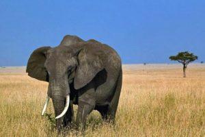 كيف تستطيع تقييد فيل ضخم فى قطعة خشب صغيرة ! الفيل نيلسون و الرجل الثري